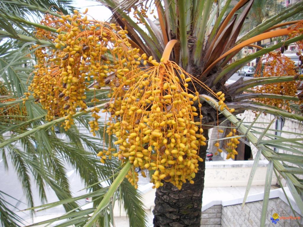 le-palmier-dattier-et-ses-dattes-visoflora-20053
